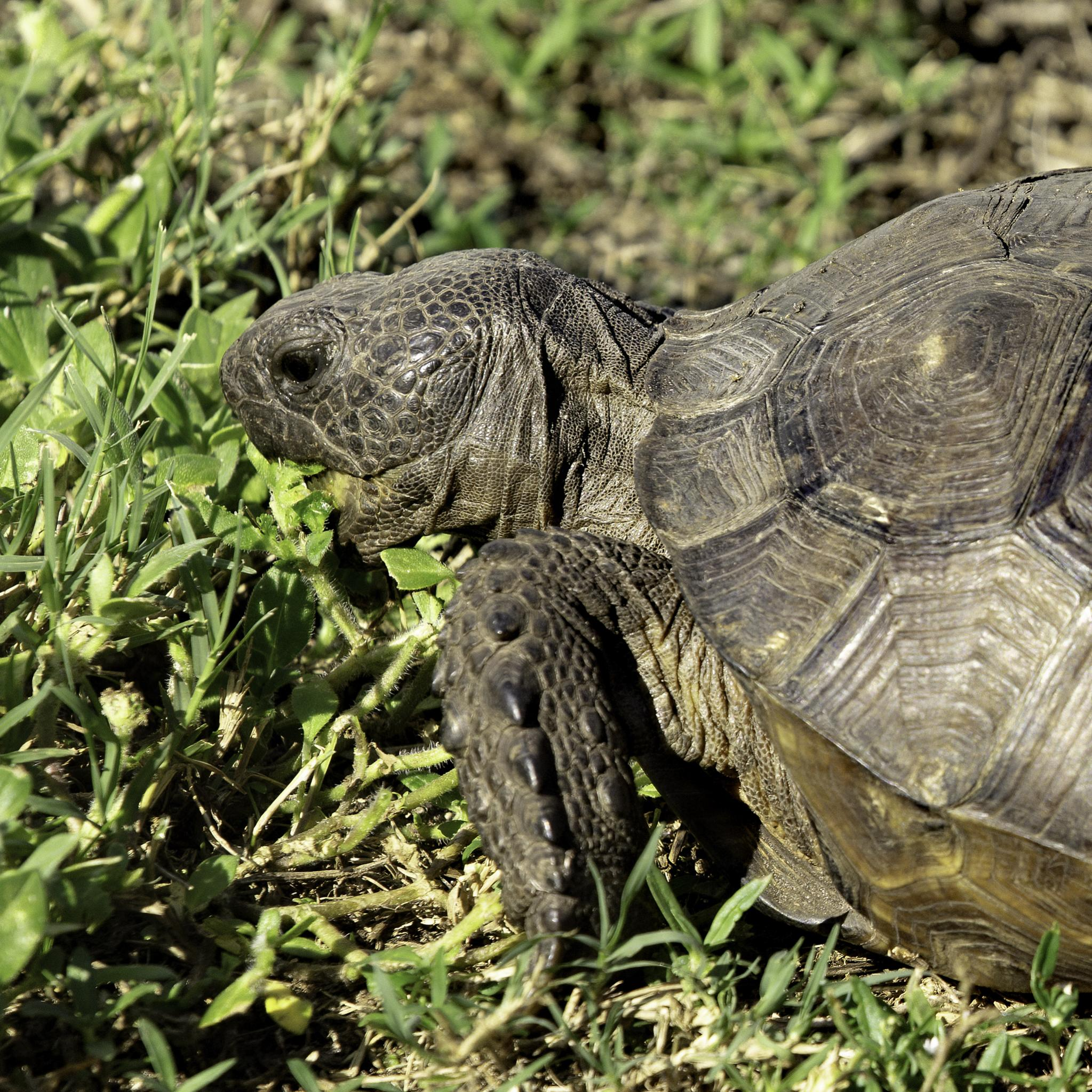 Name:  004A0279 Gopher Tortoise Crop.jpg Views: 78 Size:  725.0 KB