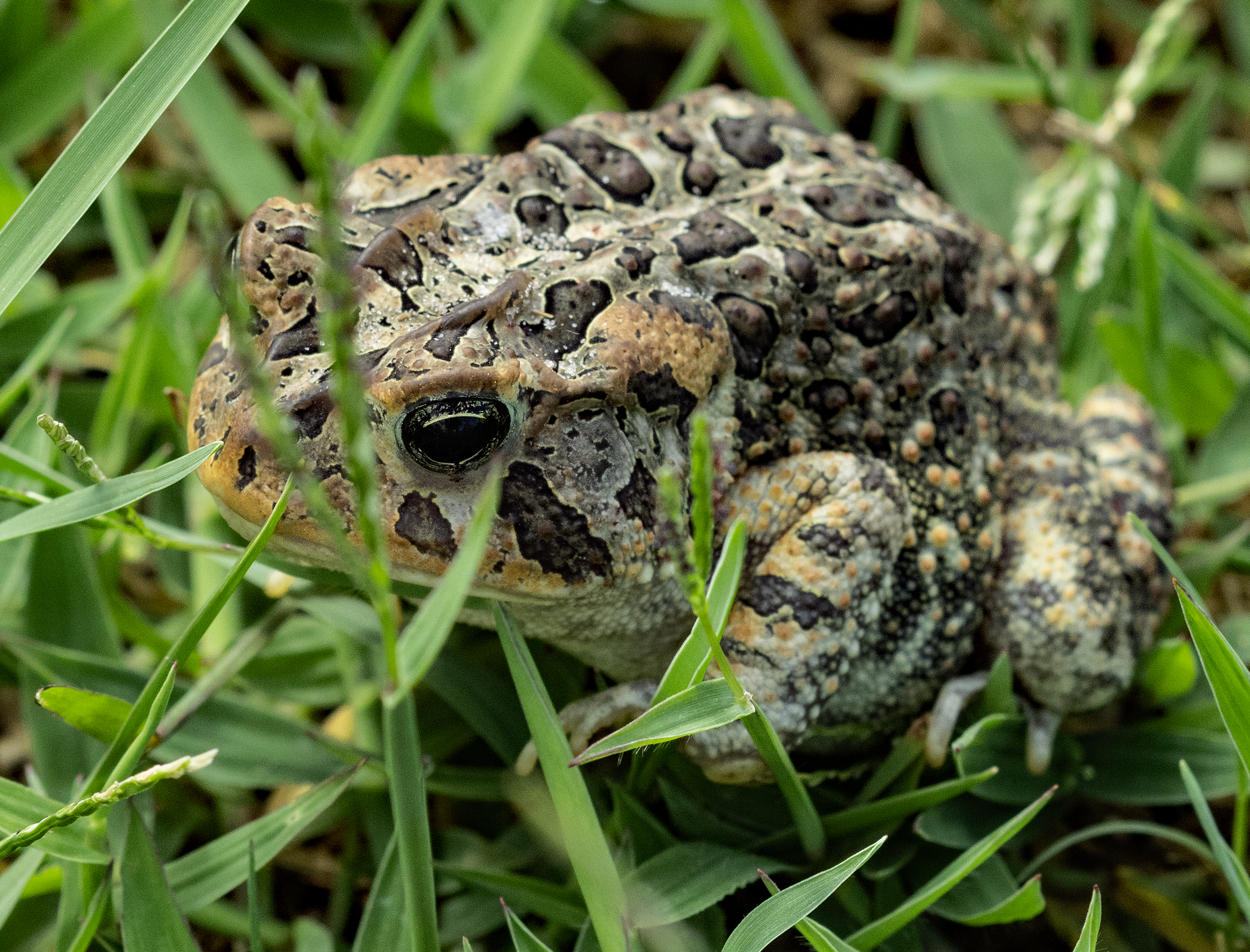 Name:  IMG_1339 Leopard Frog.jpg Views: 25 Size:  2.98 MB
