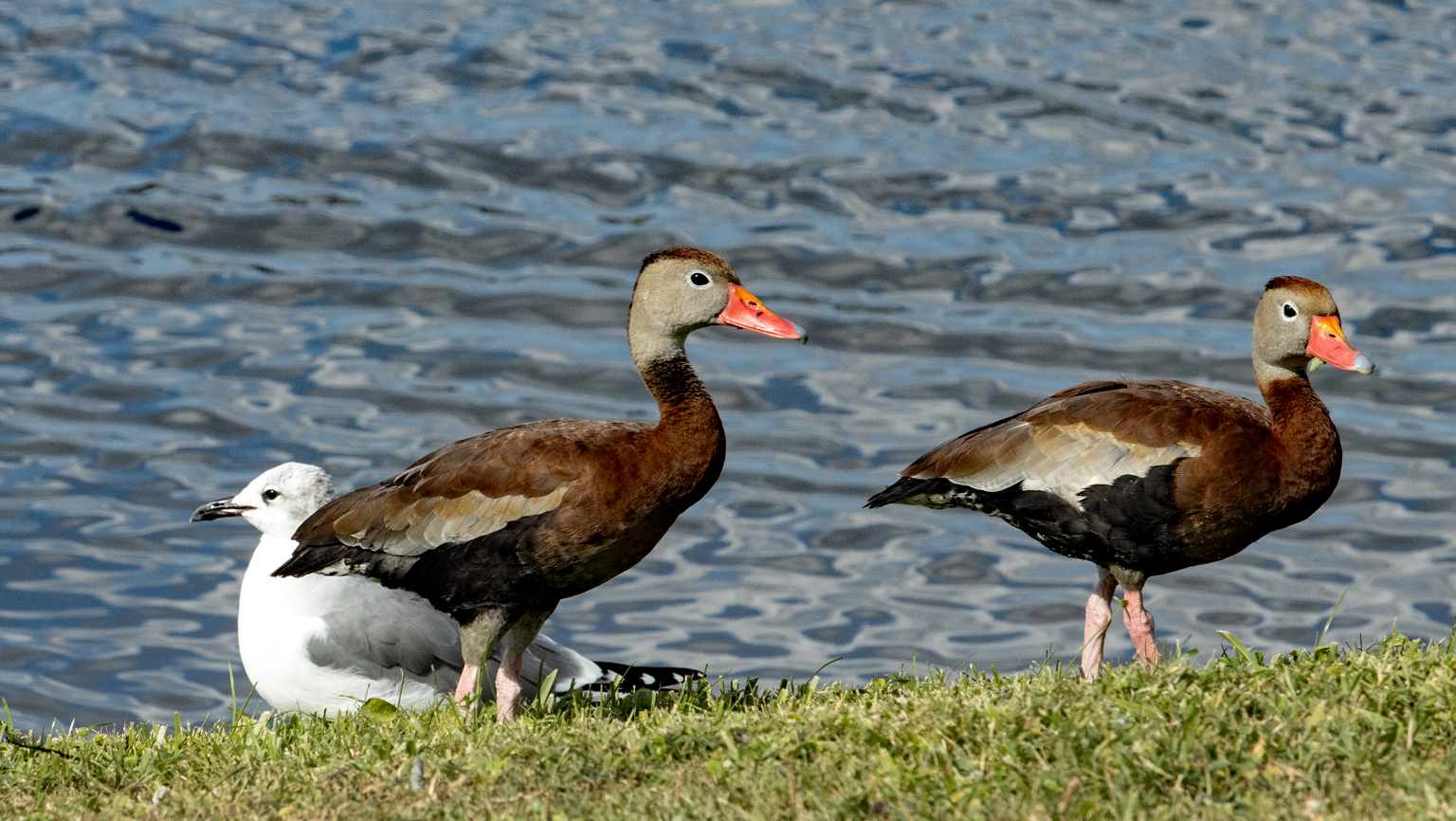 Name:  IMG_0171 Black Bellied Whistling Duck.jpg Views: 97 Size:  1.05 MB