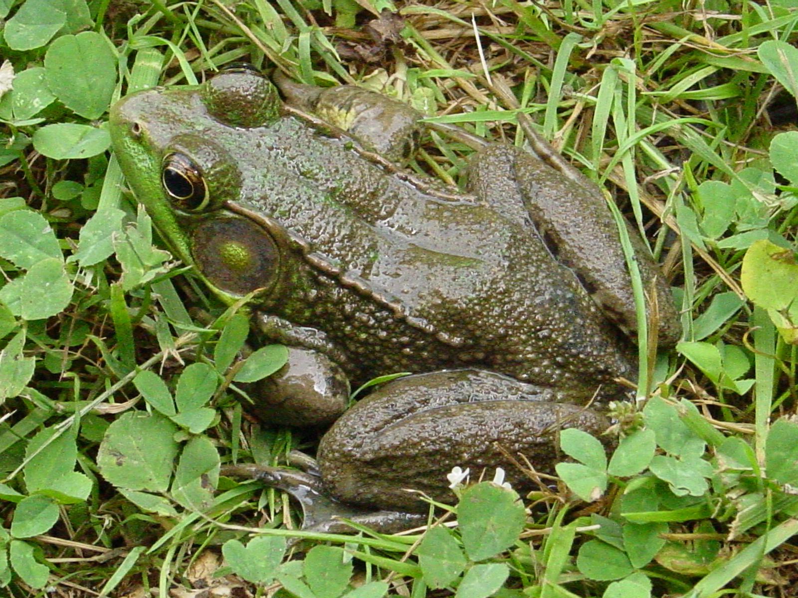Name:  Big Frog.JPG Views: 23 Size:  875.0 KB